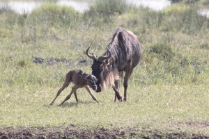 Wildlife Photos Tanzania (17)