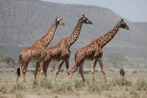 Wildlife Photos Tanzania (2)